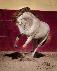 Lusitano stallion from our workshop in Portugal.