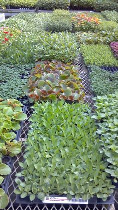 Liner trays of Starter Plants Trays, Succulents, Plants, Succulent Plants, Plant, Food Trays, Planets, Tray