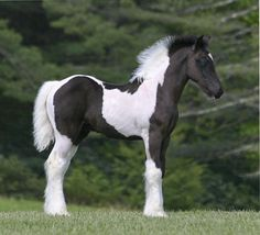 SWF Blue My Mind, 2011 Gypsy Vanner Horse colt beautiful