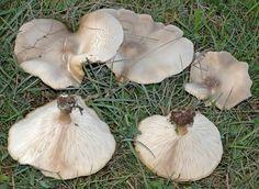 Melanoleuca subbrevipes