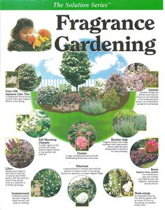 Fragrance Gardening: Japanese lilac tree, clematis, lilacs, summersweet, peonies, viburnum, mock-orange, roses, Russian sage, catmint