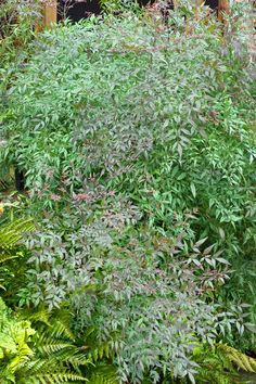 Monrovia's Emerald Sea Heavenly Bamboo details and information. Learn more about Monrovia plants and best practices for best possible plant performance. Evergreen Trees, Trees And Shrubs, Front Yard Plants, Monrovia Plants, Backyard Plan, Plant Catalogs, Large Plants, Natural World, Shades Of Green