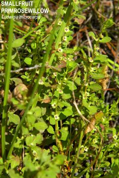 SMALLFRUIT PRIMROSEWILLOW (Ludwigia microcarpa) | What Florida Native Plant Is Blooming Today?™ 0615