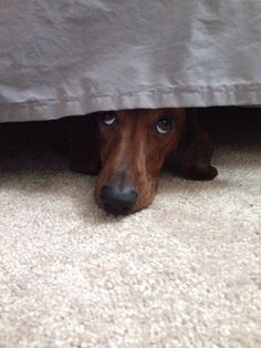 Oh the stubborn ways of a dachshund. (photo by Redditor: Falloon10)