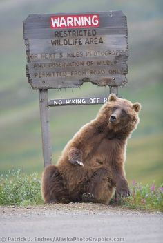 """Grizzly bear scratches a roadside sign in Sable Pass, Denali National Park, Alaska. As if to say """"Welcome to Alaska! Animals And Pets, Funny Animals, Cute Animals, Wild Animals, Baby Animals, Beautiful Creatures, Animals Beautiful, Wilderness Society, Photo Animaliere"""