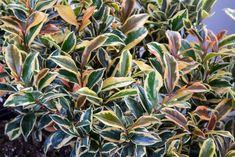 Twenty Evergreen Shrubs For Non-Stop Color | HGTV Evergreen Flowering Shrubs, Evergreens For Shade, Evergreen Hedge, Full Sun Shrubs, Trees And Shrubs, Landscaping Plants, Front Yard Landscaping, Landscaping Design, Dwarf Alberta Spruce