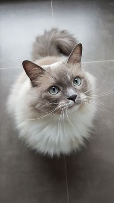 I love rag doll cats, I've rescued one I named Gus and he's my best friend