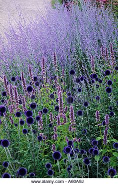 Echinops 'Veitch's Blue, Perovskia 'Blue Spire', Pensthorpe Millennium Garden, Norfolk, Blue, purple - Stock Image