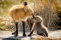Cape Breton, Foxes, Wildlife, Animals, Animales, Animaux, Animal, Animais, Fox