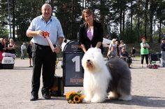 Heinola 2013. FCI 1: Bluechannel Baron Knockout, Old English Sheepdog