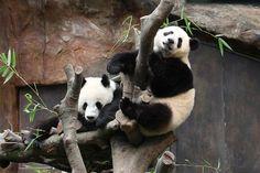 Hong Kong With Kids Ocean Park Pandas