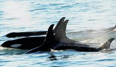 AK17 Lou has been seen again after being suspected dead for several months!! North Gulf Oceanic Society