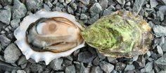 Fanny Bay Oyster - Baynes Sound, east Vancouver Island, British Columbia
