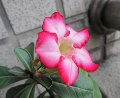 Adenium obesum 10 Seeds Bulk desert rose Bonsai Tree Flower Seeds