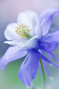 Softness ❀ Columbine - Periwinkle blue & chartreuse green - Akelei by VeronikaK / Flowers Nature, Exotic Flowers, Amazing Flowers, My Flower, Pretty Flowers, Purple Flowers, Flower Power, Pretty Pastel, Beautiful Flowers Images