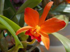 Bright orange Cattleya from Hawaiian Islands