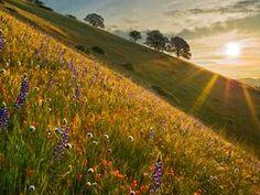 Spring Wildflowers at sunrise, near Bakersfield, CA