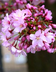 The pretty pink flower of Prunus Okame in detail
