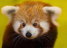 Voici pourquoi le panda roux sera l'animal le plus mignon de cette année 2015