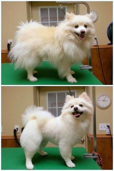 Pomeranian haircut, pom grooming Pinned from facebook.com