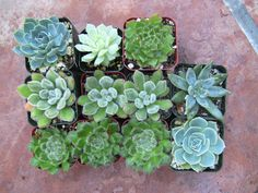 My friend gave these as a wedding favor, but they'd make an equally pretty shower favor especially if you have a Mexican or Garden twist to the theme. 20 Succulents 2 for party by SucculentPartyFavors, $35.00