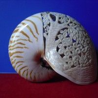Nautilus Pompillius Shell With Angel Carving