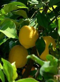 Zitronenbaum mit reifen Früchten