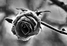 Rosa en sepia congelada