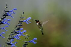 black and blue salvia...hummingbird heaven Humming Birds...another wonderful creature to have in your garden.