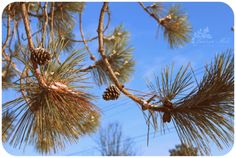 ~ Lauren Maki Photography ~ Pine, tree, cone, needles, cones, trees, branch, branches, sky, blue, winter, snow, cold, ontario, canada, vintage, nature, natural, light, day, cloud, clouds