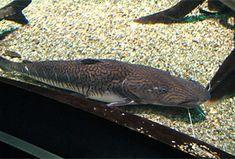 Fisch: Surubim (Pseudoplatystoma fasciatum) | Fischlexikon Fish Art, Zine, Animals, Brazil, Types Of Fish, Wels, Fish, Animales, Animaux