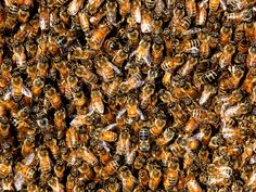 If you notice large numbers of bees coming and going from one side of your house, or near the eaves or roofline, it is best to call a specialist who can safely check your house or building for an active beehive.