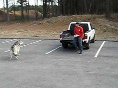 The Malamute's Big Bad Wolf