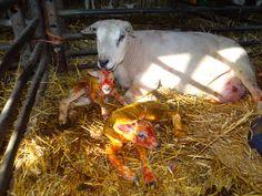 Birth of lambs