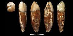 Toutes les facettes de la dent miraculeusement préservée en Suède. ©Uppsala University