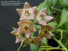 Hoya House Plants For Sale | ... size picture of Hoya, Wax Plant, Porcelain Flower ( Hoya ariadna
