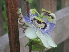 Dr.Seuss garden ideas...Passionflower