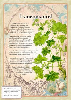 Frauenmantel www. - Back to the Nature - Healing Herbs, Medicinal Plants, Natural Healing, Plant Illustration, Botanical Illustration, Natural Home Remedies, Herbal Remedies, Herb Garden, Garden Plants