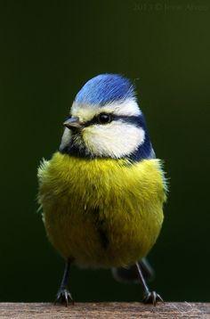 Blue Tit aka Garden Amazing World Birds In The Sky, Great Tit, British Garden, Friends Moments, Blue Tit, Bird Pictures, Flora And Fauna, Colorful Birds, Bird Watching