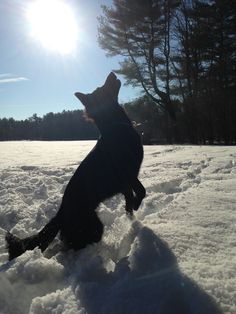 Sunny Day in the Snow    #Kenai   German Shepherd Dog