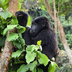 "Photo ""GorillasatBwindiNP,Uganda#safari#Africa#almaty#wildlife#nikon#natg"" by samanthavaneldik"