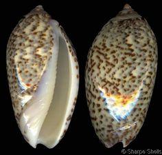 Oliva (Strephona) julieta
