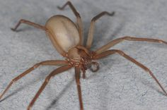 Brown recluse have a distinctively smooth appearance, compared to most other spiders its size. The Jumping spider is a natural predator to the brown recluse. I knew I liked jumping spiders for a good reason other than. Types Of Spiders, Get Rid Of Spiders, Common Spiders, Brown Recluse Spider Bite, House Spider, Spider Bites, Ticks, Creatures, Creepy