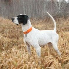 english pointer - Google Search