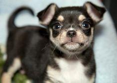 Hero the Chihuahua