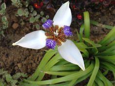 Neomarica Gracilis (Iris dell'Apostolo)