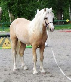 Section A Welsh Pony stallion