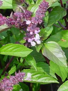 <p> Cinnamon Basil has reddish stems, purple flowers, and small- to medium-sized dark green leaves. The plants can grow as much as 3 feet tall and 3 feet wide. The leaves have a cinnamon-like taste and odor. Cinnamon Basil is good for uses other than cooking, too.</p>