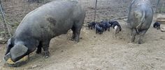 Boris, Cougar and new piglets. Boris is a Large Black and Cougar is LB and Mulefoot (cloven hooves). Piglets, Large Black, Animals, Animales, Animaux, Baby Pigs, Animal, Animais, Little Pigs