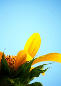 SUNFLOWER | Flickr